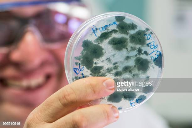 PhD student Edilberto Vicente Medina Cabrera holds a petri dish with seaweed at the laboratory of the Research Centre for renewable resources in...