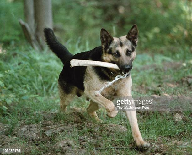 PH/Dog 6/9/02 MNCPP K9 Stryker doing training for finding humans remains in the woods behind Woodlawn Manor Park Here he returns with a bone hidden...