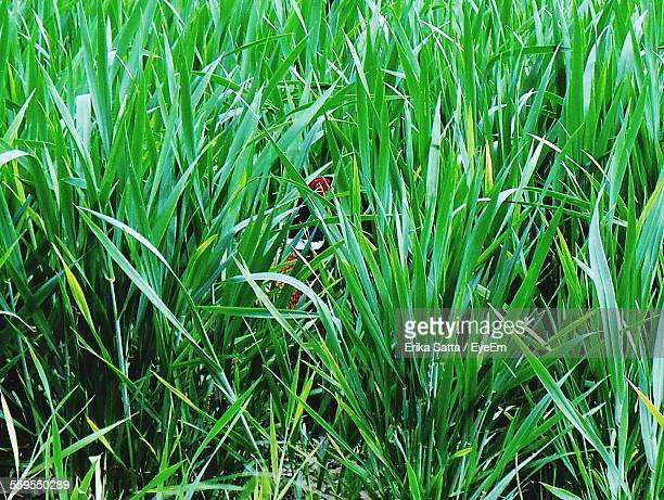 Pheasant Amidst Grass On Field