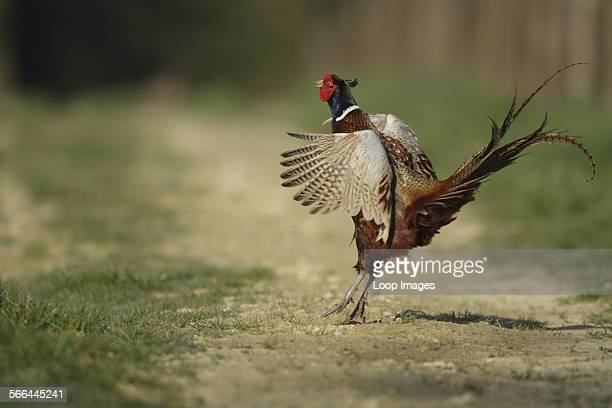 A pheasant displaying in Southwick