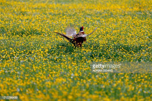 Pheasant flutters in a field of buttercups near Goring in South Oxfordshire, on May 9 as life in Britain continues over the May bank holiday weekend.