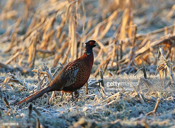 A pheasant forages in a frozen field on December 11 2012 in Knutsford England Forecasters are warning that the UK could experience the coldest day of...