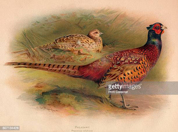 Pheasant ' From The Game Birds and Wild Fowl of The British Islands by Charles Dixon illustrated by Charles Whymper [Pawson Brailsford Sheffield...