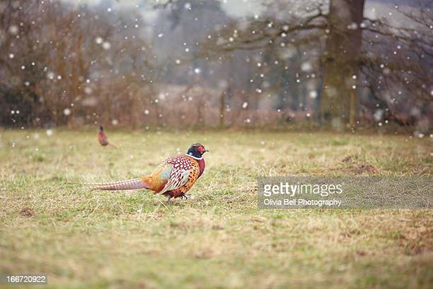Pheasant in field with snow falling