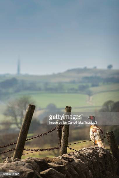 Pheasant Standing On A Stone Wall