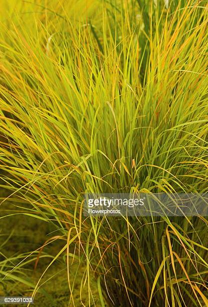 Pheasant tail grass Stipa arundinacea 'Autumn tints'