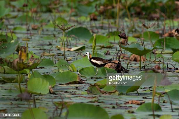 pheasant tailed jacana alone - pheasant tail feathers stock pictures, royalty-free photos & images