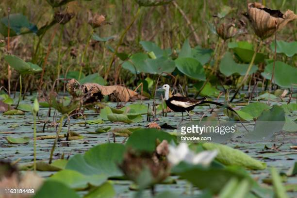pheasant tailed jacana - pheasant tail feathers stock pictures, royalty-free photos & images