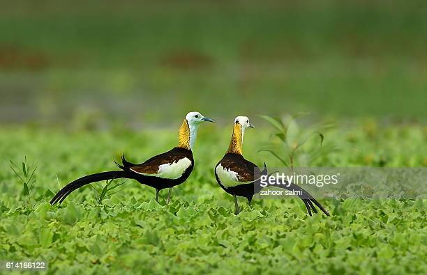 pheasant tailed jacana - markhor stock photos and pictures