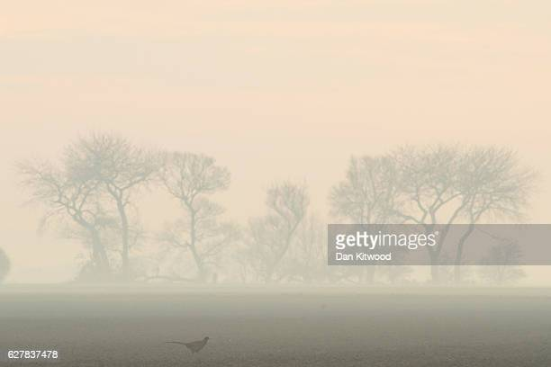 Pheasant walks across farmland in the fog on December 5 2016 near Boston England