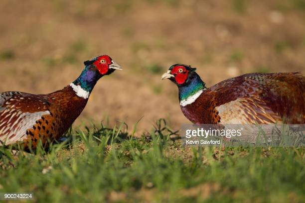 pheasants (phasianus colchicus), two male birds squaring up to each other, suffolk, england, united kingdom - 2匹 ストックフォトと画像