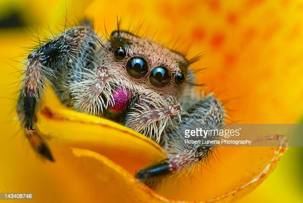 phidippus regius - canna lily stock pictures, royalty-free photos & images