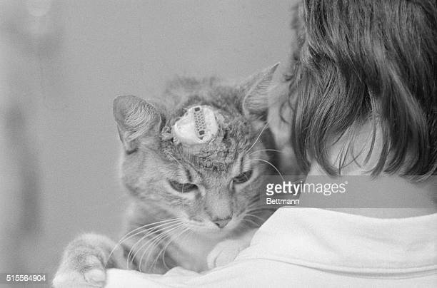 A cat with an electrode implanted in its head rests on the shoulder of an Animal Liberation Front member only a day after it was rescued by the...