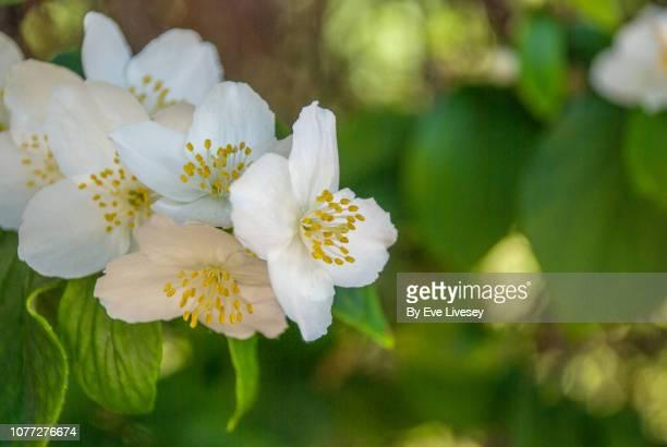philadelphus coronarius flowers - jasmine flower stock pictures, royalty-free photos & images