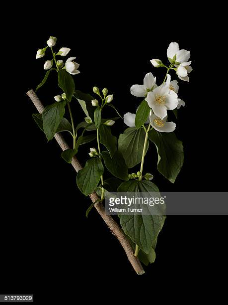 philadelphus flowers and leaves, black background - jasmine stock photos and pictures