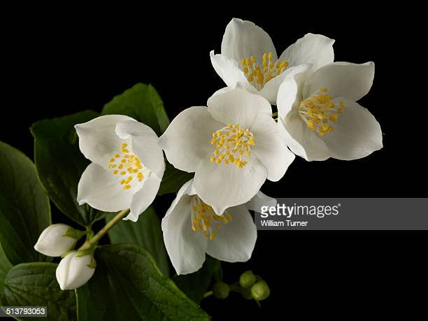 philadelphus flowers and leaves, black background - jasmine flower stock pictures, royalty-free photos & images