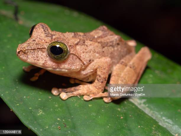 philautus hosii - hose's bush frog in tawau hills park, borneo - marek stefunko stock pictures, royalty-free photos & images
