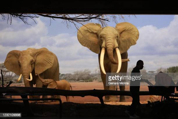 Philip Gregg and his baby Snow walk past a pair of African elephants in the African Mammal Hall at the Natural History Museum in Los Angeles on April...