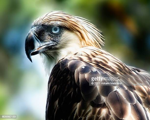 philippine eagle - davao city stock photos and pictures