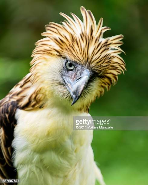philippine eagle - mindanao stock pictures, royalty-free photos & images