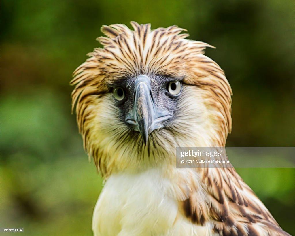Philippine Eagle : Stock Photo