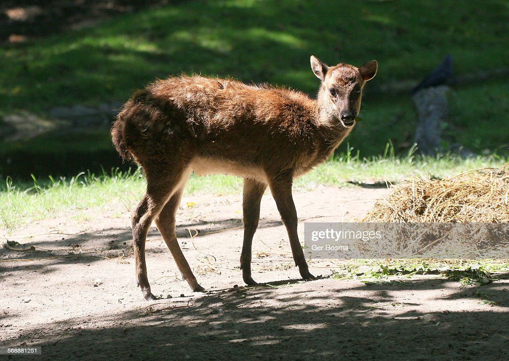 Philippine Spotted Deer Fawn : Stock Photo