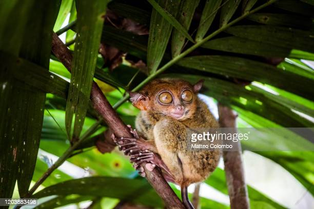 philippine tarsier (carlito syrichta), bohol, philippines - threatened species stock pictures, royalty-free photos & images