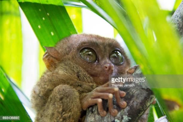 Philippine tarsier climbing a tree, Bohol