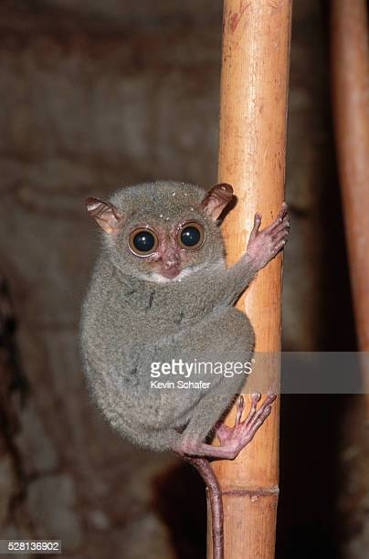philippine tarsier on bamboo - tarsier stock photos and pictures