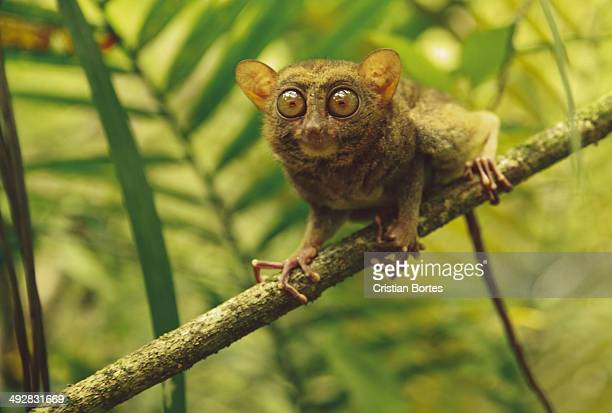 philippine tarsier - tarsier stock photos and pictures