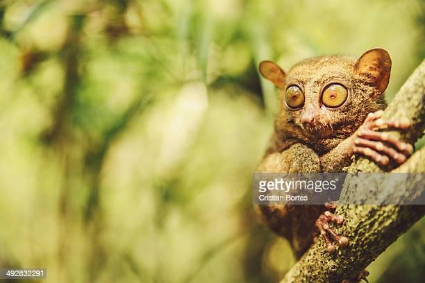 philippine tarsier - bortes stockfoto's en -beelden