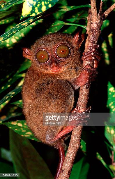 Philippine tarsier Tarsius syrchta Philippinen Bohol Philippines Island
