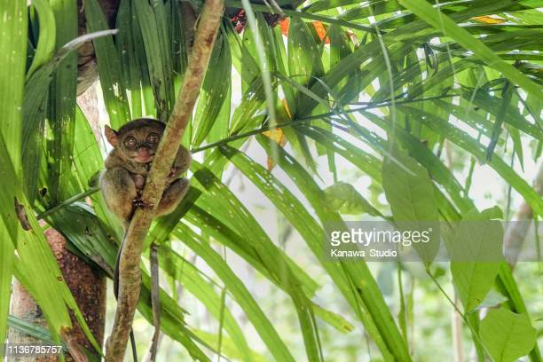 philippine tarsier - world smallest primate - tarsier stock photos and pictures
