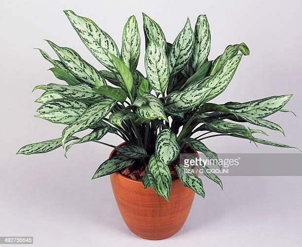 Philippineevergreen Araceae