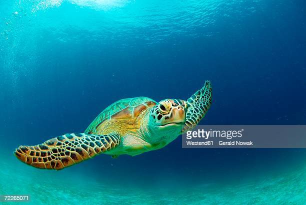 philippines, green sea turtle (chelonia mydas) swimming - mariner lebensraum stock-fotos und bilder