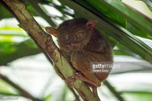 a philippines tarsier resting on a branch during day light - animal finger stock photos and pictures