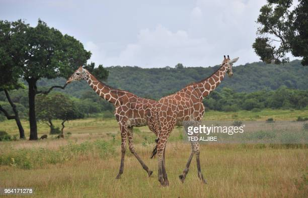 STORY PhilippinesAfricaanimaltourismoffbeatFEATURE BY In this photo taken on September 18 2011 giraffes feed on grass at Calauit Game Preserve and...