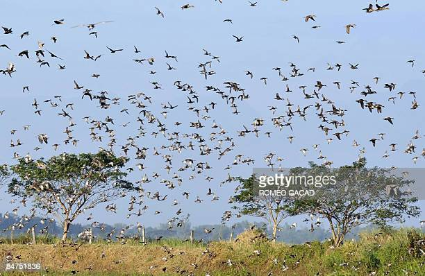 STORY Philippinesenvironmentwetlandsbirds FEATURE by Cecil Morella A flock of wild ducks and herons part of the thousands of migratory birds descend...