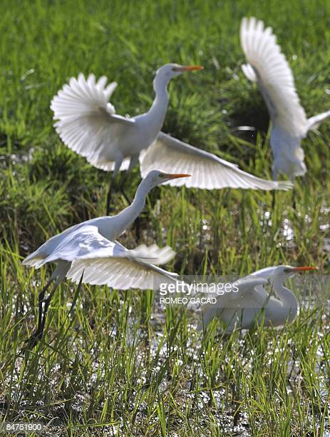 STORY Philippinesenvironmentwetlandsbirds FEATURE by Cecil Morella A flock of Great Egrets part of the thousands of migratory birds descend on...