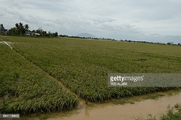 Philippinespovertybankingcreditdisasterfarming FOCUS by Joel Guinto In this photo taken on October 19 2015 shows a flooded rice field due to heavy...
