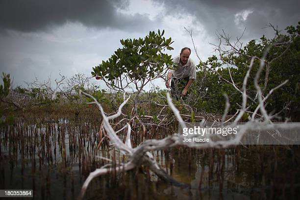 Phillip Hughes an Ecologist with the US Fish and Wildlife Service inspects dead buttonwood trees as live mangrove trees grow nearby after the...