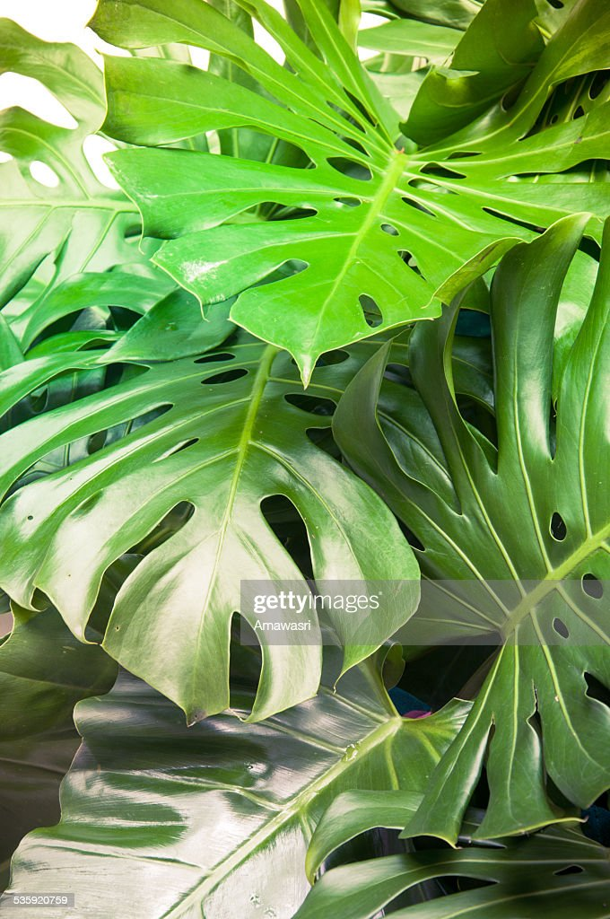 Philodendron monstera obliqua, green leaf background : Stock Photo