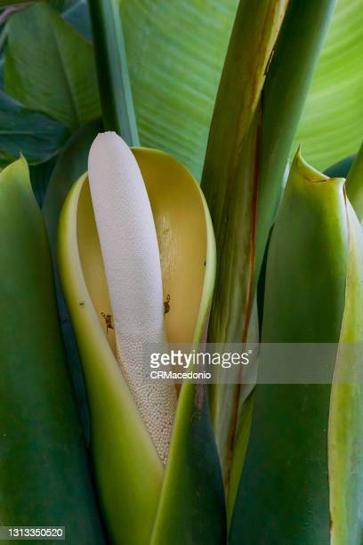 philodendron - crmacedonio stock pictures, royalty-free photos & images