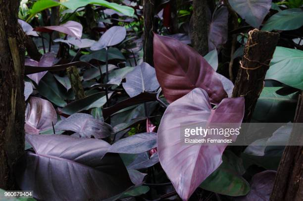 philodendron purple leaf - tropical bush stock photos and pictures