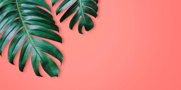 Philodendron tropical leaves on coral color background minimal summer 1096517896