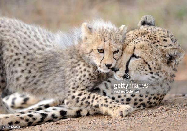 'A cheetah cub, Acinonyx jubatus, nuzzles with its mother.'