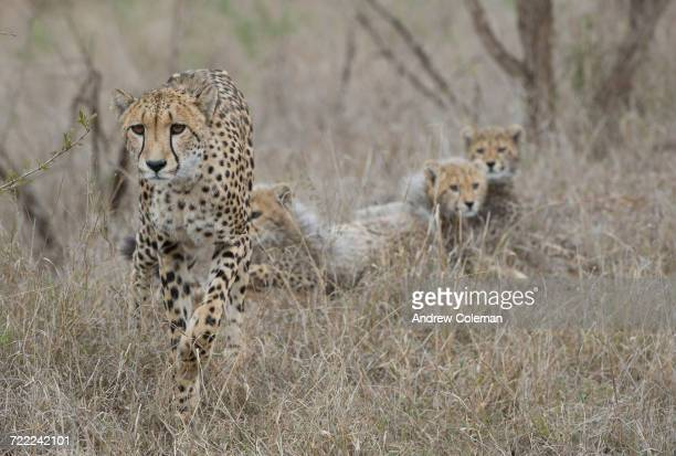 'A mother cheetah, Acinonyx jubatus, stalks prey with her cubs waiting in the background.'