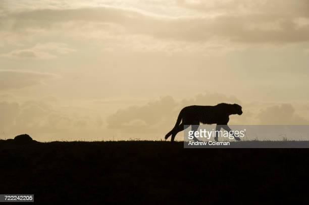 'Silhouette of a cheetah, Acinonyx jubatus, walking in the morning.'