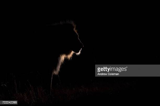 """silhouette of a male lion, panthera leo."" - lion feline stock pictures, royalty-free photos & images"