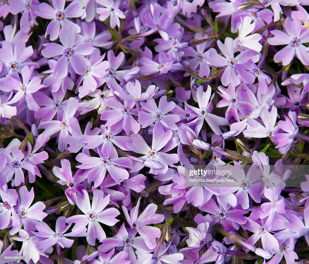 Phlox subulata or creeping phlox full frame shot of purple full frame shot of purple flowers with orange stigma izmirmasajfo Images